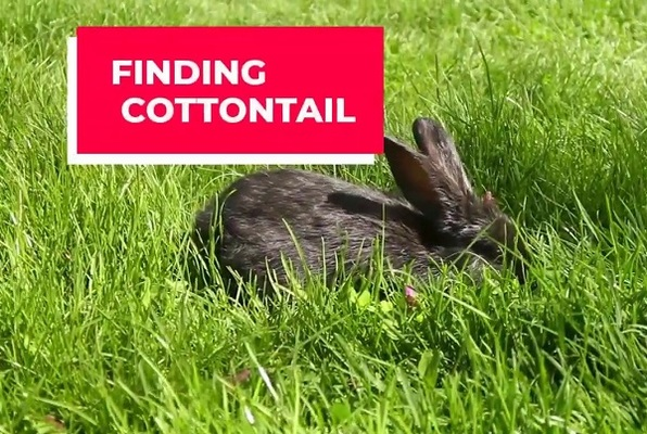 Finding Cottontail